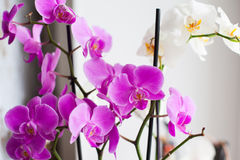 Orchid. White and purple orchid on the day light Stock Images