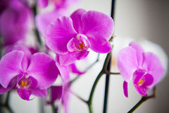 Orchid. White and purple orchid on the day light Royalty Free Stock Image