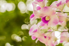 Orchid. White and purple orchids blooming on the background bokeh Royalty Free Stock Photography
