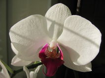 Orchid white vibrant flower close up. Beautiful white vibrant blossom flower orchid close up Stock Photo