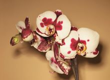 Orchid Royalty Free Stock Photography