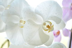Orchid. White orchid with water drops Stock Photography