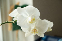 Orchid. White Orchid in the window Royalty Free Stock Photo