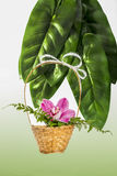 Orchid in a wicker basket. With green leaves in the background Stock Images