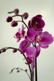 Orchid Will Bloom. Some times the orchids changes it colors going to white & black while you are not watching Stock Images