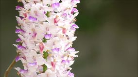 The orchid is windy, causing the inflorescence to swing. stock video