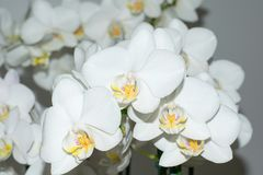 White orchids close up stock photography