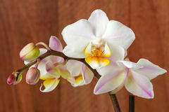 Orchid on wooden Royalty Free Stock Images
