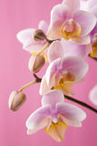 Orchid. Orchid on a wooden surface. Studio photography Royalty Free Stock Photo