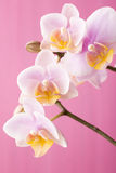 Orchid. Orchid on a wooden surface. Studio photography Stock Photos