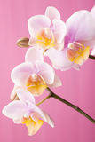 Orchid. Orchid on a wooden surface. Studio photography Royalty Free Stock Photos