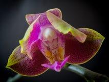Orchid_yellow和红色 免版税库存照片