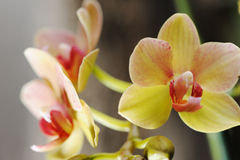 Orchid yellow Royalty Free Stock Photography
