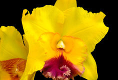 Orchid. Yellow orchid on a black background Stock Images