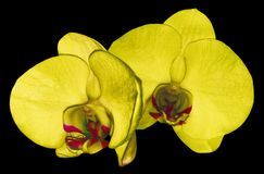 Orchid yellow flower isolated on black background with clipping path. Closeup. Purple phalaenopsis flower with orange-violet. Lip. Nature stock photos