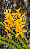 Orchid yellow flowers stuck in tree. Royalty Free Stock Photo