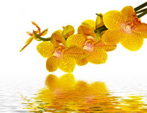 Orchid yellow flowers with water reflection. Orchid petals reflecting in nice and clean water Stock Image