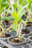 Orchid with yellow granular fertilizer in black basket. Royalty Free Stock Photo