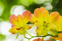 Orchid. Yellow and orange flowers blooming on the background bokeh Stock Images