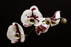 Orchid. A yellow Phalaenopsis orchid set against a black background. A popular houseplant Stock Photo