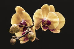 Orchid. A yellow Phalaenopsis orchid set against a black background. A popular houseplant Royalty Free Stock Images