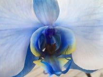 Orchid& x27 ; yeux de s Photos stock