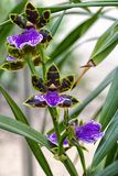 Orchid,  Adelaide Charmer x Dynamo. Zygopetalum. The beautiful colour combination of Orchid Zygopetalum Adelaide charmer x Dynamo, with its delicate patterned stock photography