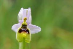 Orchid1 selvaggio fotografia stock