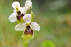 Orchid2 selvaggio immagini stock