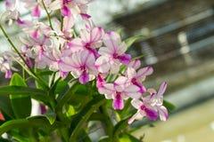 Orchidaceae, λουλούδι ορχιδεών στον κήπο, υπόβαθρο φύσης ή ταπετσαρία Στοκ Φωτογραφία