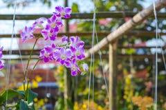 Orchidaceae, λουλούδι ορχιδεών στον κήπο, υπόβαθρο φύσης ή ταπετσαρία Στοκ φωτογραφία με δικαίωμα ελεύθερης χρήσης