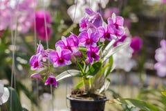 Orchidaceae, λουλούδι ορχιδεών στον κήπο, υπόβαθρο φύσης ή ταπετσαρία Στοκ εικόνες με δικαίωμα ελεύθερης χρήσης