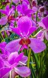 Orchidaceae arkivfoton