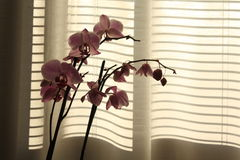 Orchidaceae Stock Photography