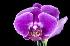 Orchidaceae. Royalty Free Stock Image
