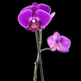 Orchidaceae. Royalty Free Stock Photos