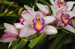 Orchidaceae Immagine Stock