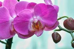 Orchidaceae. Στοκ Φωτογραφία