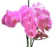 Orchidaceae. Στοκ εικόνες με δικαίωμα ελεύθερης χρήσης