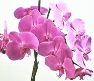 Orchidaceae. Στοκ Εικόνες