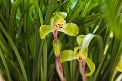 Orchidaceae Photos libres de droits