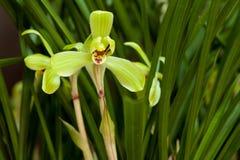 Orchidaceae Photographie stock