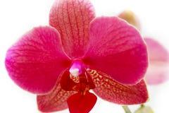 Orchidaceae Fotografie Stock Libere da Diritti