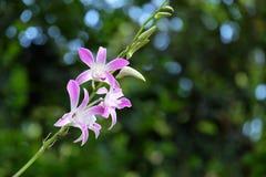 Orchidaceae Royaltyfri Fotografi