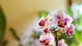 Orchidaceae Fotografia Stock Libera da Diritti