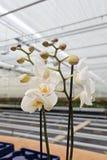 Orchidaceae blanco en invernadero Imagenes de archivo