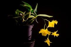 Orchidaceae di harveyanum del Dendrobium immagini stock