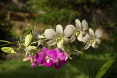 Beautiful Orchid, srilankan Orchid Farm. The Orchidaceae are a diverse and widespread family of flowering plants, with blooms that are often colourful and royalty free stock photography