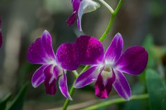 Beautiful Orchid, srilankan Orchid Farm. The Orchidaceae are a diverse and widespread family of flowering plants, with blooms that are often colourful and stock image