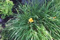 Yellow Orchidaceae in tall grass royalty free stock photos